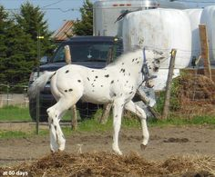 Appaloosa colt Leopard Appaloosa, Appaloosa Horses, All About Horses, Horses For Sale, North American Tribes, Horse Ears, Baby Horses, Majestic Horse, Horse Quotes