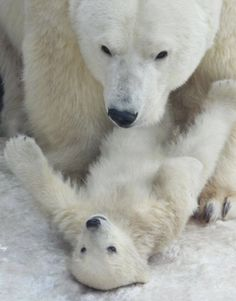 """""""Yes mom, you are the stronger and beautiful polar baer off the world and I am the smallest! You are the best!!! Ok? Can I go? Now? Please!"""""""
