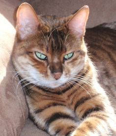 my new favorite cat breed - The Toyger - (mini-tigers!)