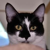 Austin Tx Domestic Shorthair Meet Patty A Pet For Adoption Pet Adoption Kitten Adoption Puppy Adoption