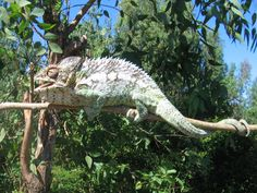 Chameleon_in_Berenty_Madagascar_0001.JPG (JPEG 画像, 1600x1200 px) - 表示倍率 (59%)