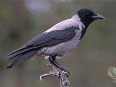 Corvus cornix (cornacchia grigia) - IvanPerciballi.com