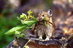 Uno de los animales que se encuentran en la tundra es un pika. Un pika es un tipo de hámster animal. Es de 20 cm de largo y es un poco marrón, animal lindo,, borroso bronceado. El pika come pasto y las hierbas, por lo tanto es un herbívoro. Muchos carnívoros se alimentan de los pika. Sobrevive al vivir en agujeros en el suelo y el almacenamiento de la hierba, las flores y las hierbas. Este animal también se puede encontrar en el bioma de pastizales.