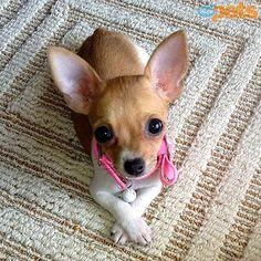 Cute Chihuahua, Teacup Chihuahua, Chihuahua Puppies, Cute Puppies, Dogs And Puppies, Pet Dogs, Dog Cat, Pets, Doggies