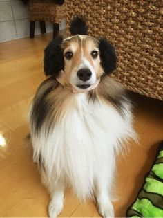 Sheltie trying out her new Ear Muffs