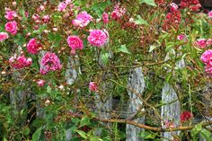 Wild Roses, and weathered fences