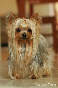 "35 Yorkshire Terrier ""Yorkie"" Puppies You Will Love - All Dogs Get Their Wings :) - Yorkies, Yorkie Puppy, Teacup Yorkie, Yorkshire Terrier Haircut, Yorkshire Terrier Puppies, Yorkshire Puppies For Sale, Cute Puppies, Cute Dogs, Dogs And Puppies"