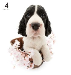Artlist Collection THE DOG English Springer Spaniel calendar
