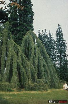 Weeping Blue Atlas Cedar