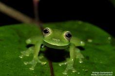 Smile like a frog... Night walk tour at Villa Blanca Hotel, #CostaRica