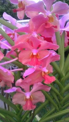 A Pink Orchid in Full Bloom in my Mother's Garden -St. Croix, US Virgin Islands