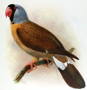 Mascarene Parrot - Wikipedia, the free encyclopedia