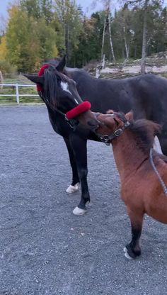 Funny Horse Videos, Funny Horses, Cute Horses, Horse Love, Funny Animal Videos, Cute Funny Animals, Cute Baby Animals, Animals And Pets, Laughing Horse