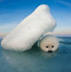 """Ice Shelter Photo by Harp seal pups seek shelter from the relentless February and March winds that scour the seaice…"" SO ADORABLE! Harp Seal Pup, Baby Harp Seal, Baby Seal, Beautiful Creatures, Animals Beautiful, Animals And Pets, Baby Animals, Cute Seals, Foto Art"