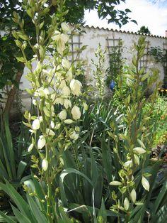 Yucca Plants, Paradise, Garten, Flora, Plant, Planting