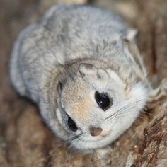 Japanese dwarf flying squirrel. I fricken need you.