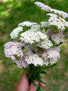 Achillea millefolium rosea