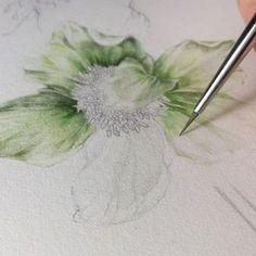 Helleborus in progress. Botanical Drawings, Botanical Art, Botanical Illustration, Painting & Drawing, Pencil Painting, Watercolor Flowers, Watercolor Paintings, Watercolors, Drawing Flowers