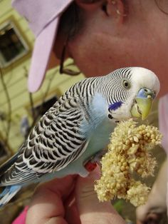 Budgie eating from a millet spray.