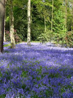Bowood House Bluebell Carpet, Wiltshire www.dayvisits.co.uk