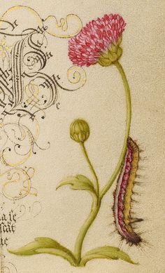 Wainscot, French Rose, Wasplike Insect, English Daisy, and Caterpillar (detail), Joris Hoefnagel, Georg Bocskay, 1591-96, script 1561-62
