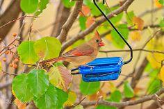 Female Cardinal - Autumn Fall Back, Autumn Leaves, Birds, Female, Fall Leaves, Autumn Leaf Color, Bird