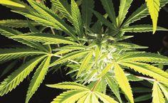 #Cofepris asegura no tener solicitudes para importar cannabis - El Universal: El Universal Cofepris asegura no tener solicitudes para…