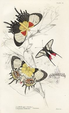1858 - Foreign butterflies by James Duncan, Sir William Jardine, via bhl Butterfly Illustration, Botanical Illustration, Vintage Butterfly, Butterfly Art, Nature Prints, Art Prints, Science Illustration, Merian, Insect Art