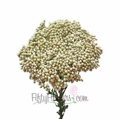 Find unique filler flowers at FiftyFlowers.com! Our White Rice Flowers have a head made up of hundreds of tiny ivory white blooms that would serve as a wonderful filler flower in a monochromatic bouquet of white roses, and white snapdragons. Offered in packs of 10 bunches, purchase multiple packs to get the quantity you need for your event!