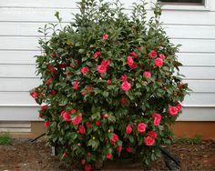 Full size picture of Common Camellia, Japanese Camellia 'Adolphe Audusson' (Camellia japonica)