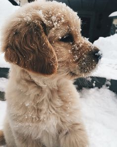 Penny ♥ Sweet, alert, baby Golden Retriever puppy dusted with snow. Cute Baby Animals, Animals And Pets, Funny Animals, Cute Animals Puppies, Golden Retriever Mix, Retriever Puppy, Baby Golden Retrievers, Gold Retriever, I Love Dogs