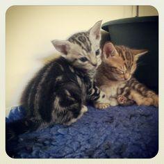 2 of my Ocicat kittens aged 4 weeks Instagram