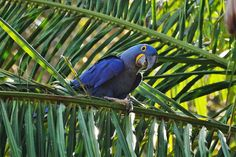 Hyacinth Macaw: Anodorhynchus hyacinthinus, Cuiaba River, The Pantanal,  Brazil, South America