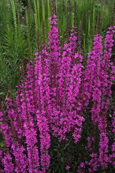 Lythrum virgatum 'Dropmore Purple'