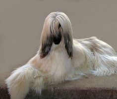 Chandhara Afghan Hounds [w/thanks for the link to the breeder's website to Michele Murphy]