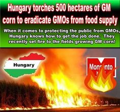 Hungary Torches 500 Hectares of GM corn to eradicate GMOs from food supply