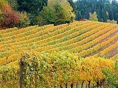 Chehalem Vineyards in fall - Newberg Oregon - Yamhill County