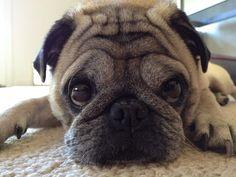 Thinking Sheba Cute Dog Wallpaper, Pugs, Cute Dogs, Cute Animals, Friends, Gifts, Art, Pretty Animals, Amigos