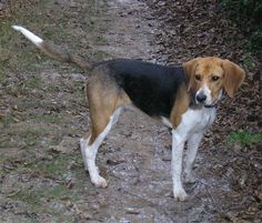 harrier dog photo | Beagle Harrier Information and Pictures
