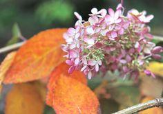 hydrangea paniculata fall color