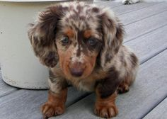 This dachshund too!   Dapple's are so cute!