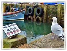 Mike's Cornwall: THE VICIOUS SEAGULLS at Mevagissey, Cornwall. #cornwall #seagull #mevagissey