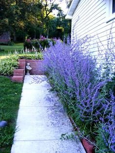 Russian Sage along west side of house - likes full sun and heat. deer and drought resistant. 3-4 feet high and wide blooms late summer to first frost.