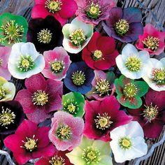 Royal Heritage Strain Lenten Rose (Helleborus Royal Heritage Strain) at Wayside Gardens