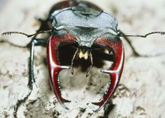"""HowStuffWorks """"10 Biggest Bugs on Earth : Pictures"""""""