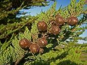 Hesperocyparis macrocarpa Monterey Cypress, Fall Plants, Plant Illustration, Autumn Garden, Garden Ideas, Landscaping Ideas, Backyard Ideas
