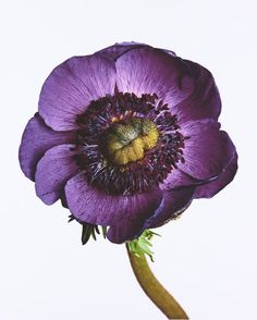 Anemone 'Inra Blue', New York, 2006 by Irving Penn