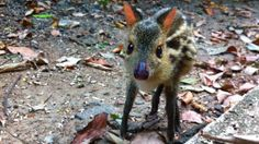 Bambino! The chevrotain, or mouse deer, are small ungulates found in the rainforests of Southeast Asia and Central and West Africa, and weigh, depending on the species, between 0.7 and 8.0 kg (1.5 and 18 lb). en.wikipedia.org/... Thanks to @Christina Childress & Silbermann ! #Chevrotain #Mouse_Deer
