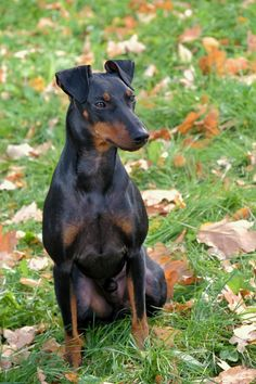 The Manchester terrier (both standard and toy) has a sleek, carefree coat. These dogs also love to curl up and chill after a brisk walk.& The post The Best Low-Maintenance Dogs for People with Super-Hectic Lives appeared first on McGregor Dogs. Guard Dog Breeds, Cat Breeds, Low Maintenance Dog Breeds, Loyal Dogs, Border Terrier, Doberman Pinscher, Dog Park, Terrier Dogs, Dog Walking