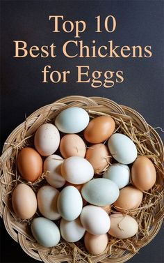 Top 10 Best Chickens for Eggs Add Golden Comets to this list. The Golden Comet is a cross between a Rhode Island Red and White Leghorn chicken. Best Chickens For Eggs, Best Egg Laying Chickens, Types Of Chickens, Raising Backyard Chickens, Backyard Poultry, Backyard Coop, Keeping Chickens, Backyard Farming, Easter Egger Chicken